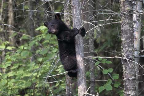Black Bear cub, Ursus americanus, Canada, North America.