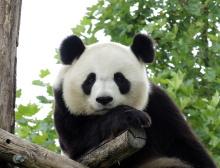 Panda Gant 3